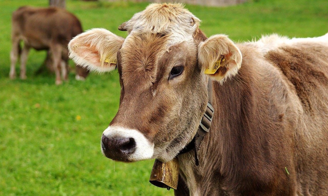 Jedna hala namiotowa dla bydła – wiele możliwości
